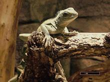 Iggy the Iguana