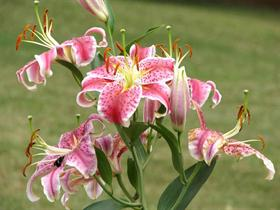 full oriental lilly plant