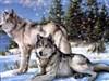 Snow Wolf by: AzDude