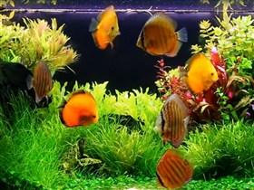 my discus fishtank