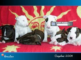Bull Terrier Pups
