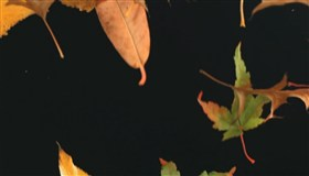2 Seconds of Leaves falling (slow motion)